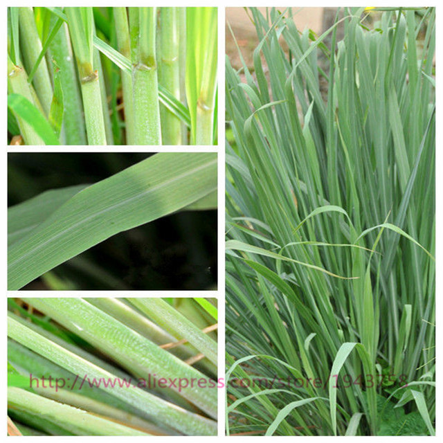 Free Shipping 400 LEMON GRASS SEEDS,Herb Plant Easy Care DIY Garden,Used fresh or dried