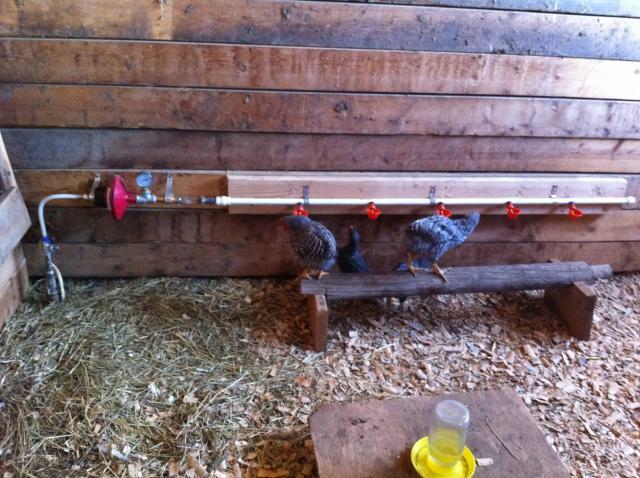 200 птицы чашки куриного птица quial сосок пьяница поливающий