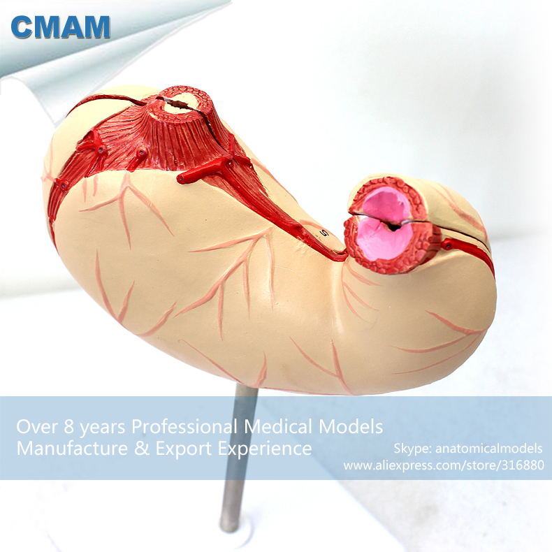 12536 CMAM-STOMACH03 Anatomical Human Stomach Model in 2 Parts on Stand,  Medical Science Educational Teaching Anatomical Models 12400 cmam brain03 human half head cranial and autonomic nerves anatomy medical science educational teaching anatomical models