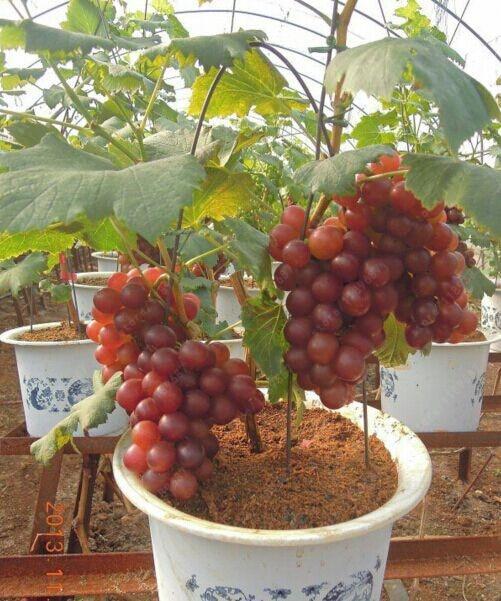 50 pcs/bag grape seeds organic fruit seeds , Nutrient – rich grape vine indoor plants , bonsai garpe tree plant for home garden