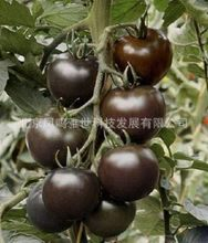 Hot black jade black tomato bonsais organic vegetable bonsais 200pcs(China)
