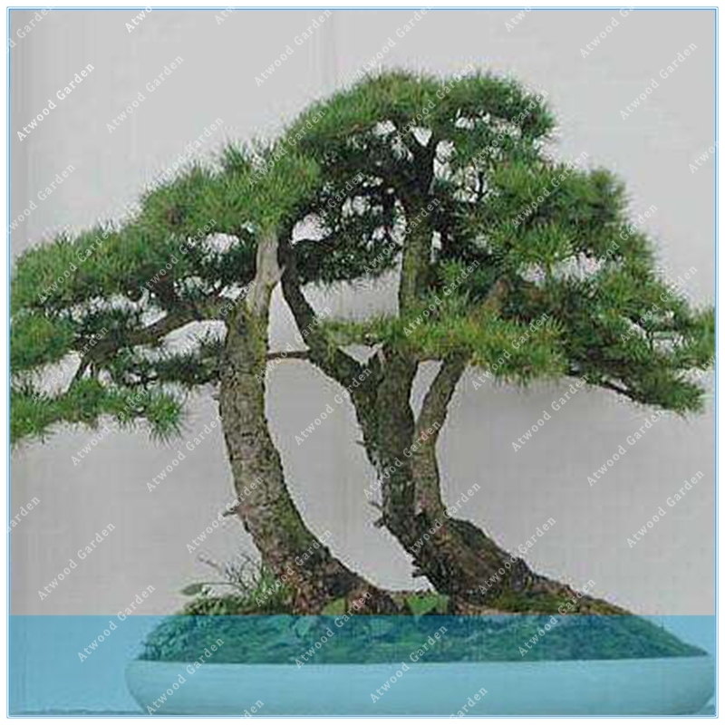 ZLKING Cedrus deodara seeds Cedrus Deodara Conifer Indoor Plant bonsai tree seeds Light blue Deodara Cedar seed 10pcs/bag