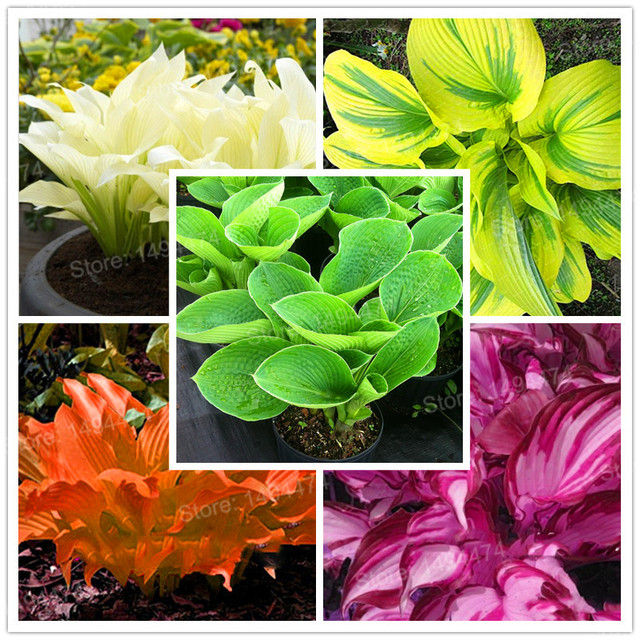 100pcsbag Mixed Color Hosta Plantshosta Whirl Wind In Full Shade