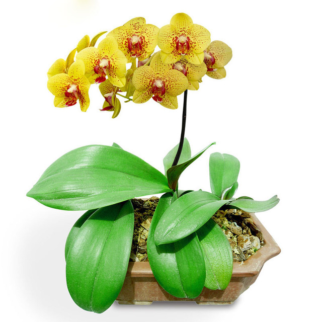 yellow phalaenopsis orchid flower indoor bonsai orchids 200seeds