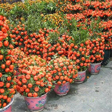 20pcs/Citrus plant Bonsai Mandarin Orange bonsai Edible Fruit Tree Healthy Food Home Garden Easy To Grow