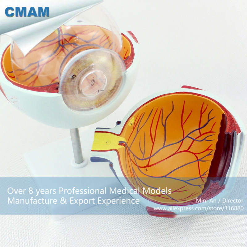 CMAM-EYE01 Enlarge 6x Life-size Plastic Human Eye Model Anatomy in 6-parts for School Education cmam viscera01 human anatomy stomach associated of the upper abdomen model in 6 parts