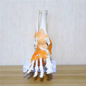 Image 4 - 23x21x11cm Human 1:1 Skeleton Ligament Foot Ankle Joint Anatomi cal Anatomy Medical Teaching Model