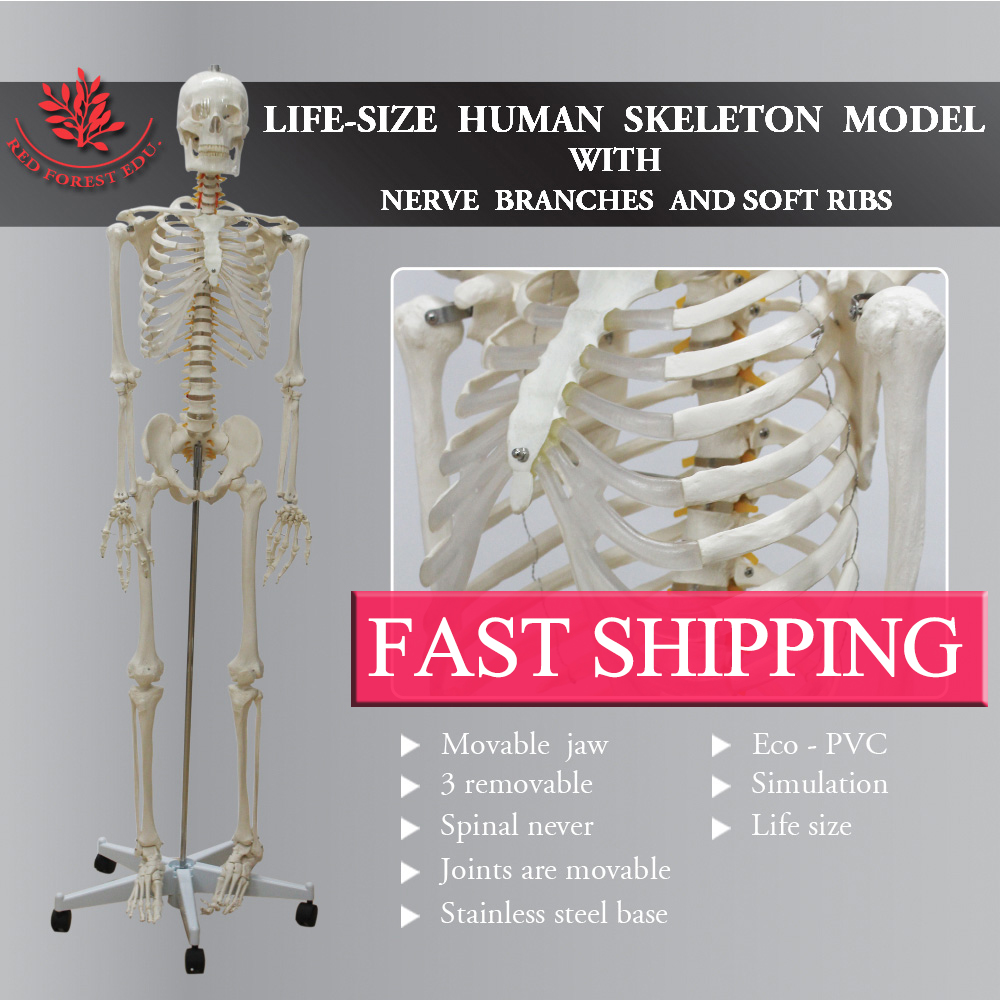 Standard skeleton rod mount legs removable Life size 180cm Male human  skeleton plastic standing human skeleton life size for horror hunted house halloween decoration