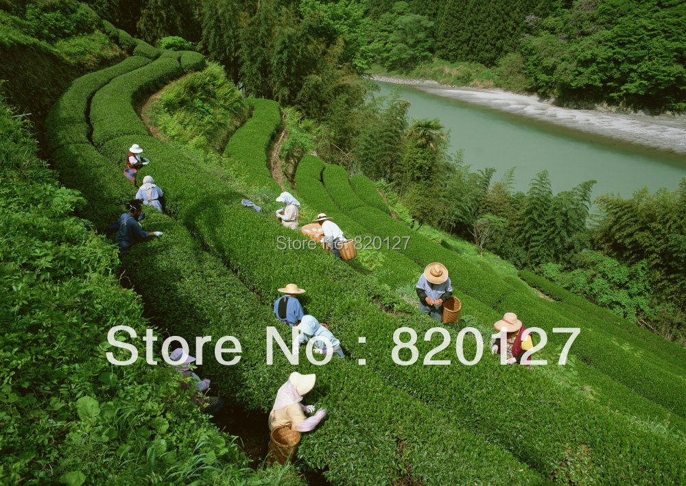1 LB(about 500 seeds) 2016 New Chinese Green Tea Tree CAMELLIA SINENSIS SEEDS GROW YOUR OWN TEA LEAVES