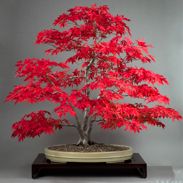 10 pcs/bag Graines Mini Beautiful Red Maple Seeds Bonsai Ornamental Diy Plant Flower Pot Indoor Garden Plants Tree Seed