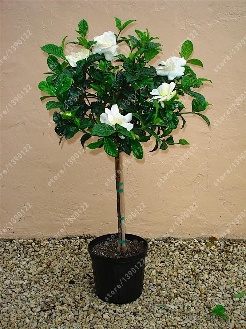 10pcsbag Jasmine Seeds Jasmine Plant Molly Bonsai Flower Seeds