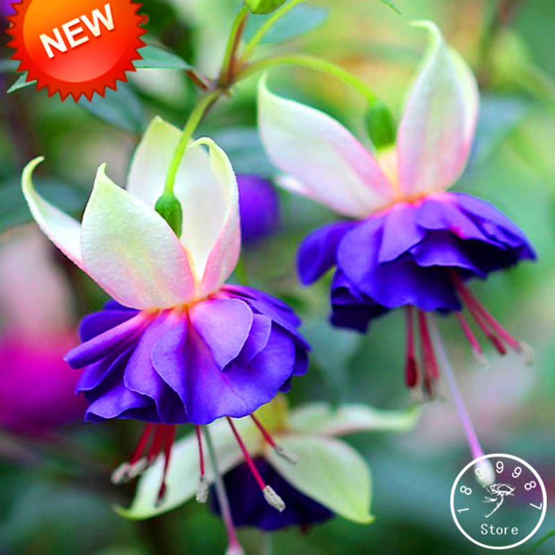 Aliexpress buy new fresh pink purple bell flowers fuchsia aliexpress buy new fresh pink purple bell flowers fuchsia bonsai potted flower garden plants hanging fuchsia flowers 50 floreslotaa96yx from mightylinksfo