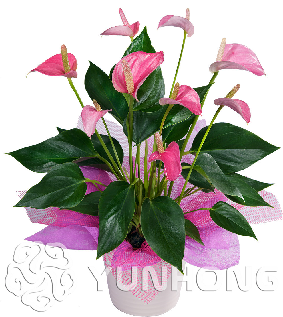 G F D EU//Reino Unido Lencería Mujeres Oscuro Ciruela Talla grande Copa Suave Sujetador Floral C