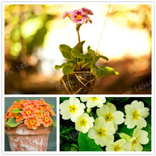 100pcs/bag Mini Primrose Seeds Rare Primula Malacoides Seeds Mini Bonsai Flower beautiful Primrose flower seeds for home garden