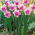 Bonsái plantas de plantas acuáticas pétalos dobles narcisos rosados bonsái para el hogar jardín 100 partículas/lote FLORES PLANTAS sementales