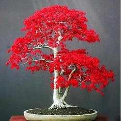 100% правда U.S.A красный клен Америка бонсай 30 шт. seedsplants Очень красивые Крытый дерево домашний сад decortion