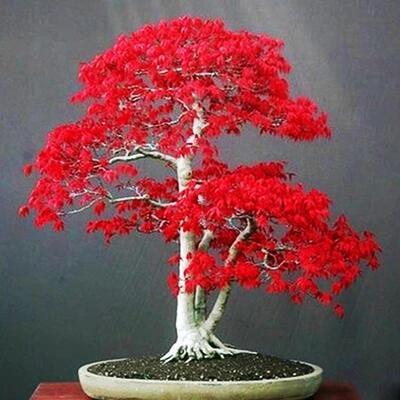 100% verdadero árbol de arce rojo EE. UU. América bonsáunids 30 piezas semillas muy hermoso árbol de interior hogar jardín decoración