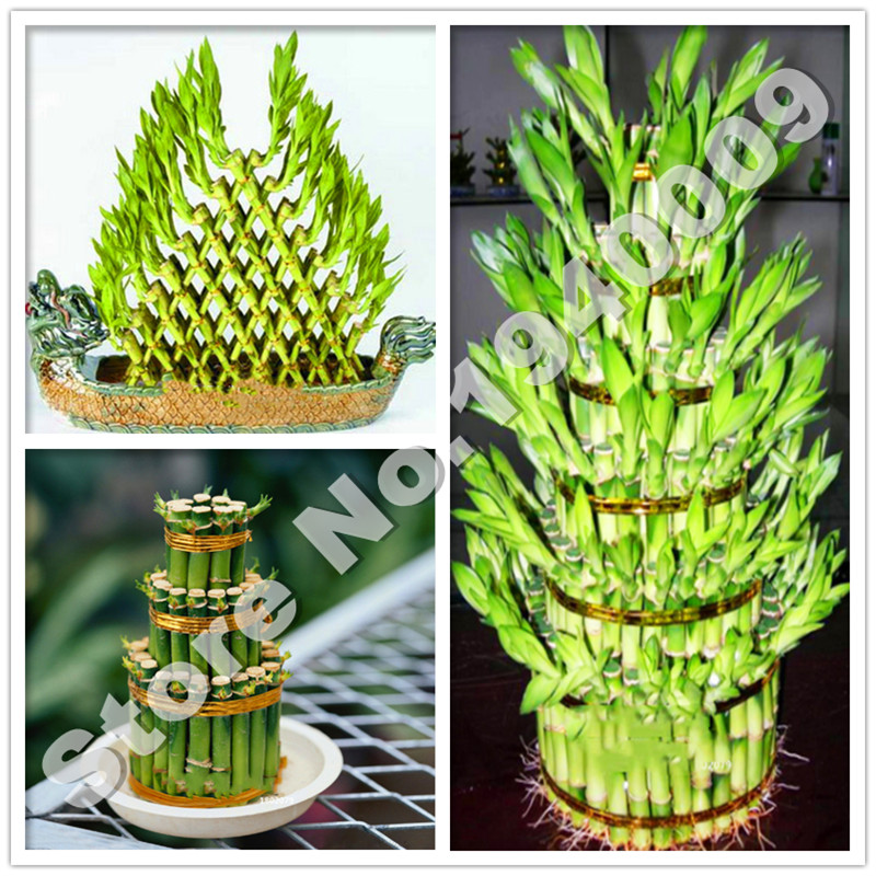 Able 50 Pcs Lucky Bamboo Bonsai Small Potted Plants Purify The Air Planting Is Simple Budding Rate Of 95% Ornamental Plant Tree Profit Small Garden Supplies Bonsai