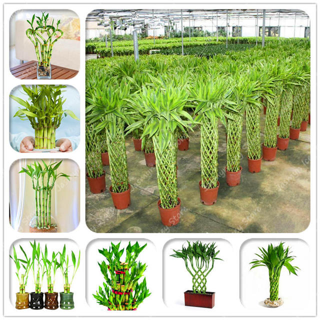 40 قطعة/الحزمة الصينية محظوظ الخيزران النباتات 7 أنواع اختيار بوعاء بونساي متنوعة كاملة خيزران زراعة 95% من مهدها معدل