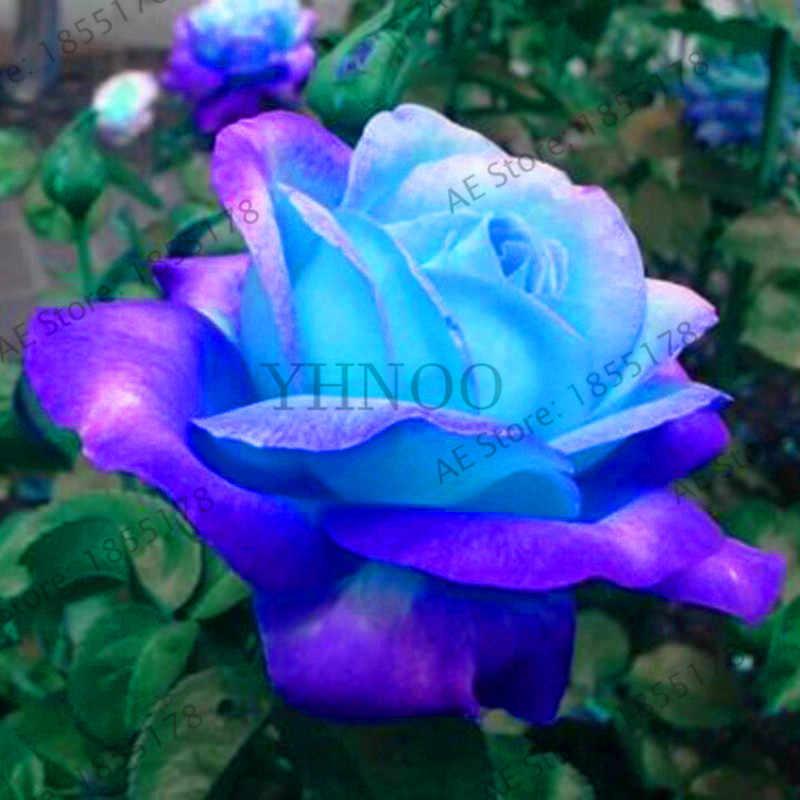 Kehilangan Promosi! 200 Pcs/bag Langka Biru Pink Mawar Taman Bonsai Tanaman Bunga untuk Rumah Grden Plnat Pot Mudah Tumbuh Wangi Tinggi Ge