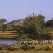 Herd of Zebra (Equus grevyi) and African Buffalo (Syncerus caffer) in a field Uaso Nyrio River Samburu Kenya (18 x 6)
