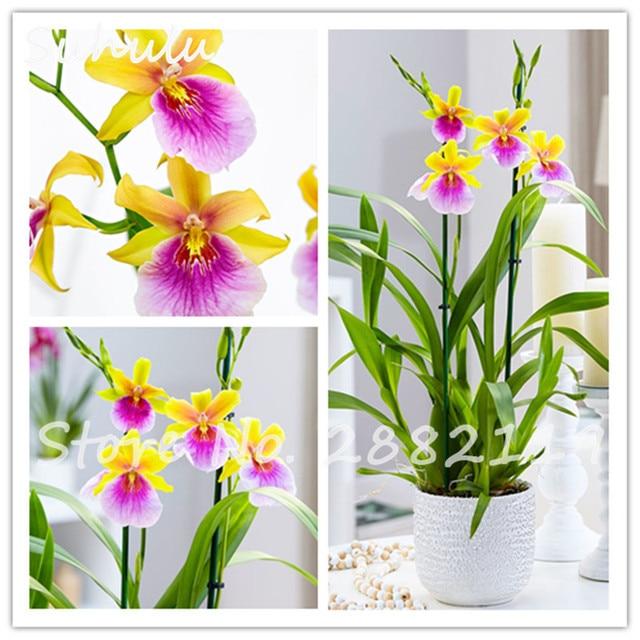 60 st cke zwei farbe rot gelbe orchidee phalaenopsis stiefm tterchen orchidee bonsai. Black Bedroom Furniture Sets. Home Design Ideas