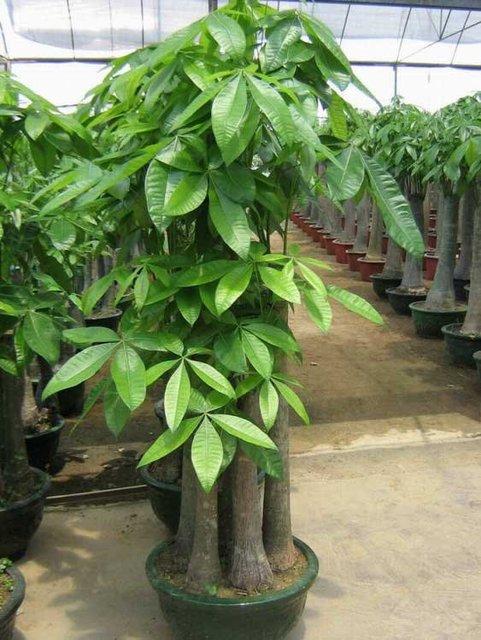 Pachira Macrocarpa bonsai, money trees, live trees, decorative ...