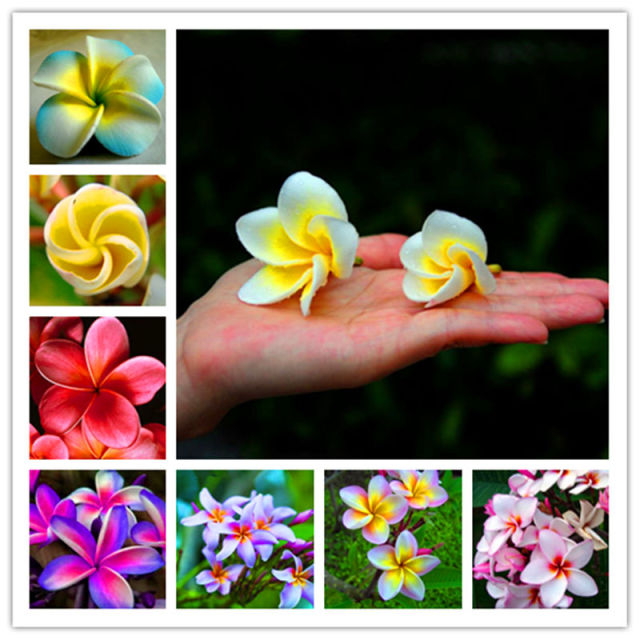 Multi-Color Plumeria Seeds, Frangipani Seeds, 50pcs/pack