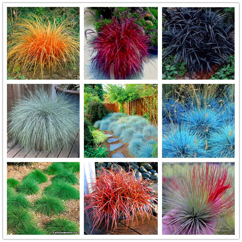 100 mix Fescue Grass Seeds Festuca glauca perennial hardy ornamental grass so easy to grow grass for home garden