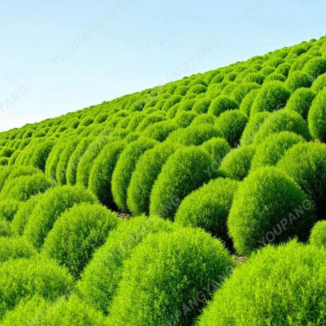 200 Pcs/Bag Summer Cypress bonsai Round Cypress Tree bonsai Air Purify Bonsai Pot Plant For Home Garden Decoration Free Shipping