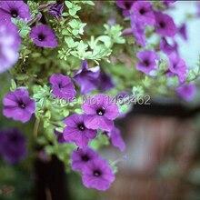 1 Packs 40 семена лиловый Queen цветок сад семена