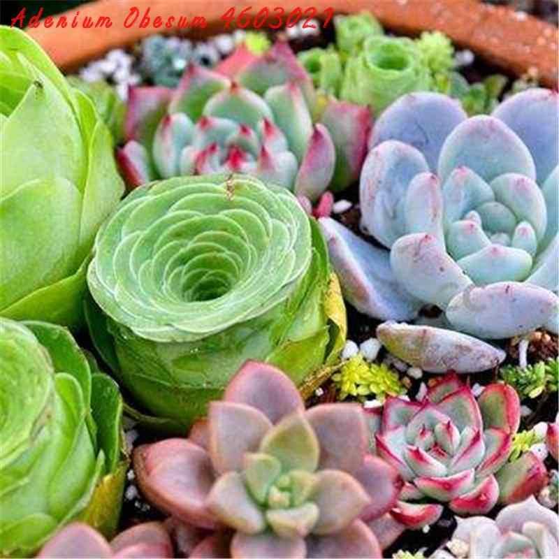 الربيع بيع بونساي 100 مزيج نادر الصبار عصاري بونساي النبات بونساي نبات حديقة في الشرفة زهرة النباتات سهلة لزراعة