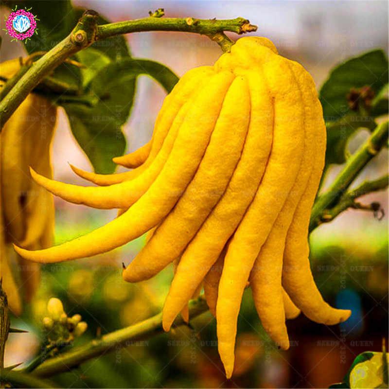 بونساي النباتات 100 قطعة/الحقيبة توما بوذا اليد الفاكهة العضوية الصالحة للأكل الفاكهة شجرة بوعاء زراعة للمنزل لوازم حديقة