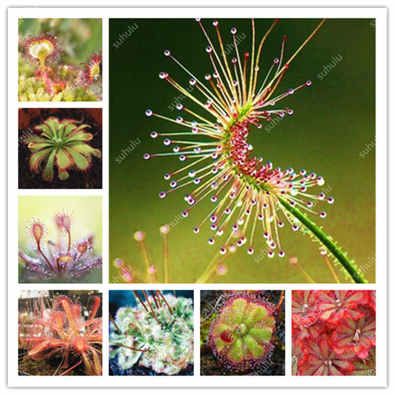 Sale! 200 Pcs Carnivorous Plants Potted Flycatcher Bonsai Sundew Planta Drosera Peltata Table Garden Plant Radiation Protection