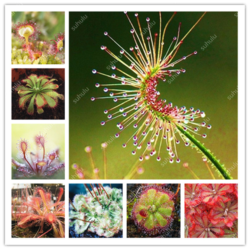 Sale! 200 Pcs Carnivorous Plants Potted Flycatcher Bonsai Sundew Planta Drosera Peltata Table Garden Plant Radiation Protection
