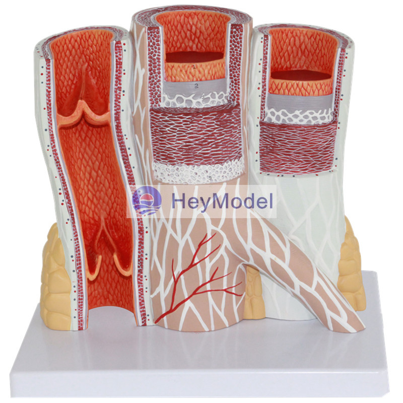 HeyModel Arteries and Veins Anatomy Enlargement Model Human Vascular Models Vascular Structures Enlargement Models arteriovenous structure model arterial and venous anatomy model vascular model
