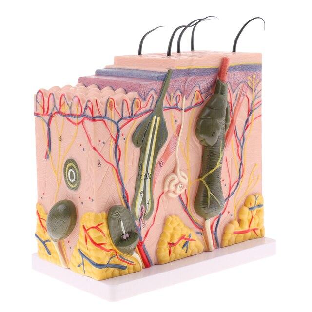 Pvc 150 Scale 3d Human Anatomical Skin Model Anatomy Biology