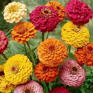 100pcs Mixed Zinnia bonsai plants Pretty Pastel Colors Flower bonsais Free Shipping