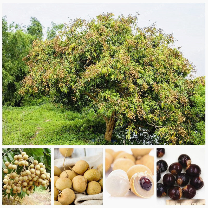5 Pcs Fresh Longan Seeds Fruit Dimocarpus Longan Seeds Exotic Bonsai Tree Perennial Shrub Potted Plant Decoration Home Garden