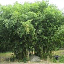 potted seeds bamboo seeds garden decoration plant free shipping 100pcs b56 - Bamboo Garden Decor