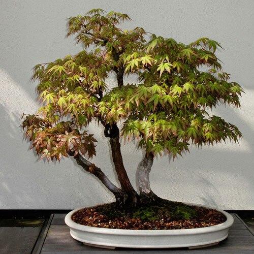 American Maple Seeds Bonsai 50 PCS