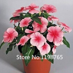 2016 new arrival catharanthus roseus flower seeds perennials bonsai seeds bloom all the year - Flowers that bloom all year round ...