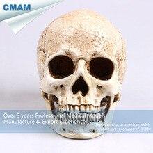 CMAM PRC63 Painting Skull Antiqued White Embryo Resin Model Medical Realistic Lifesize 1 1 Art Teaching