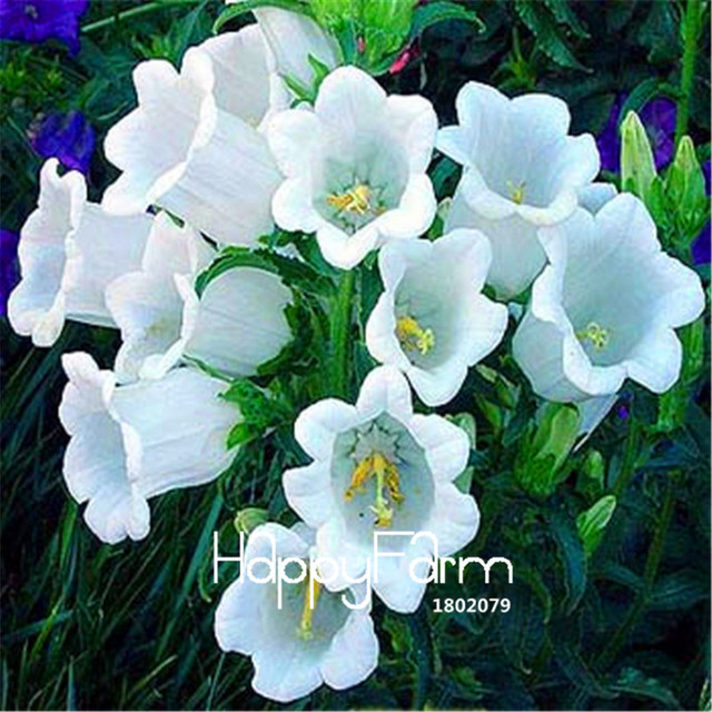 100 Pieces/Pack Best Selling!White Campanula Flowers Potted Plants ...