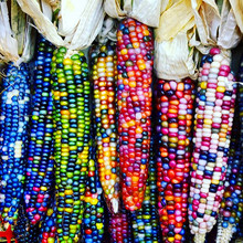 20pcs/bag rainbow corn seeds Organic seeds vegetables colorful corn seeds Edible seeds bonsai potted plant for home garden(China)