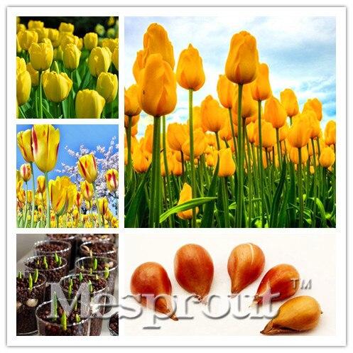 5pcs Bulbs True Yellow Tulip Bulbs Bonsaitulips Variety Fresh