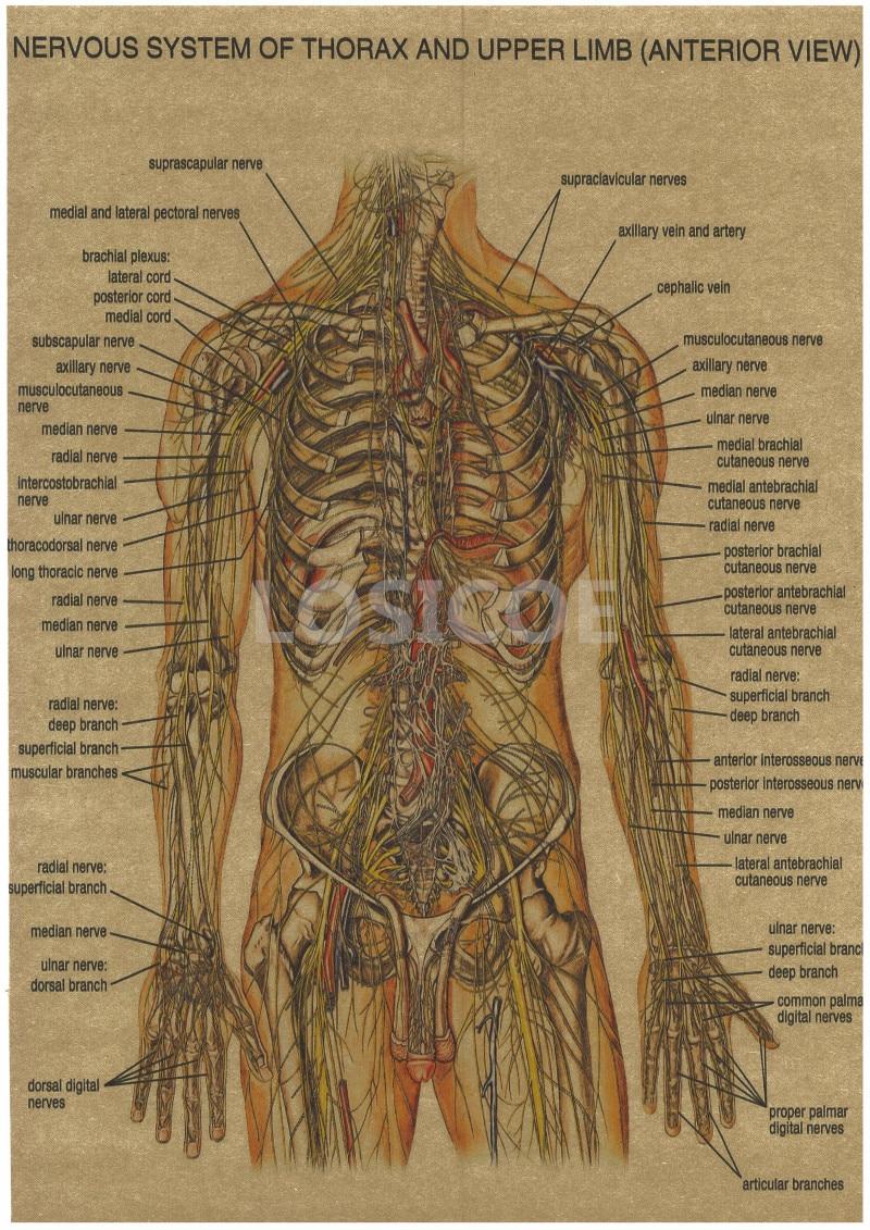 Vintage Medicine Human anatomy Posters Kraft Paper Painting Wall ...