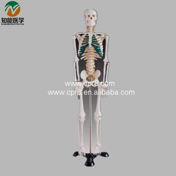 Human Spinal Nerves Skeleton Model(85CM) BIX-A1004 W053 bix a1005 human skeleton model with heart and vessels model 85cm wbw394