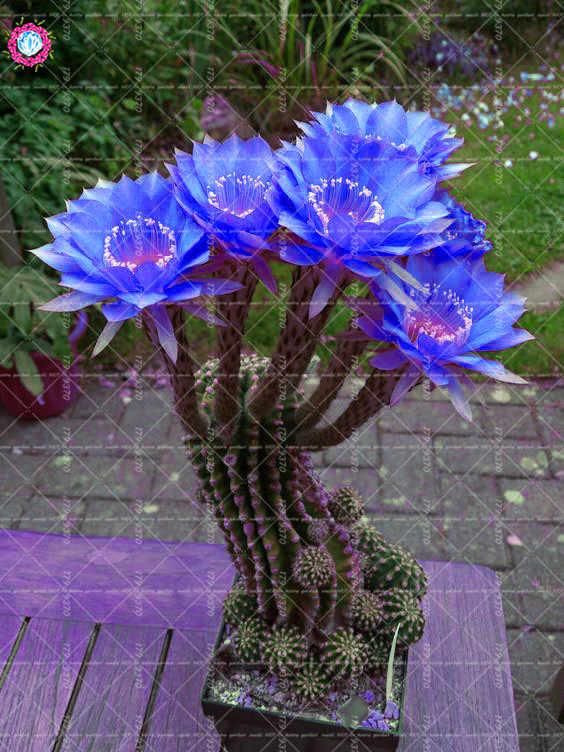 100 Pcs/bag Bonsai Bunga Kaktus Langka Biru Bunga Prickly Pear Berbunga Abadi Pot Tanaman Opuntia Succulent Tanaman