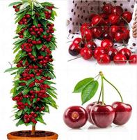 1Pcs 100% True Plants Cherry Orange Peach Strawberry Bonsai tree sapling (All consequences at your own risk)